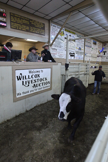 willcoxlivestockauction-IMG_8873