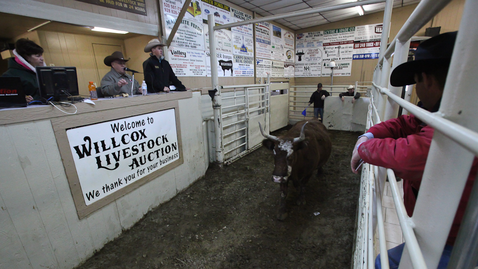 willcoxlivestockauction-IMG_8889