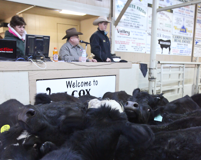 willcoxlivestockauction-IMG_8938