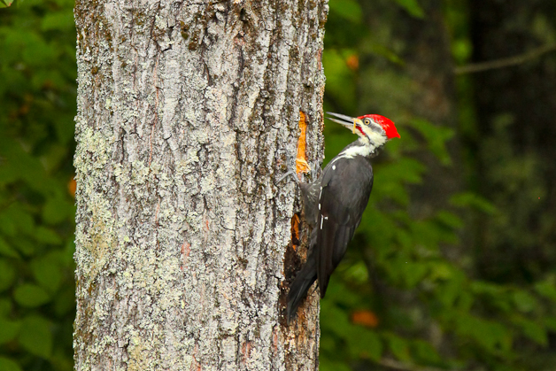 barringtonpileated-IMG_7380