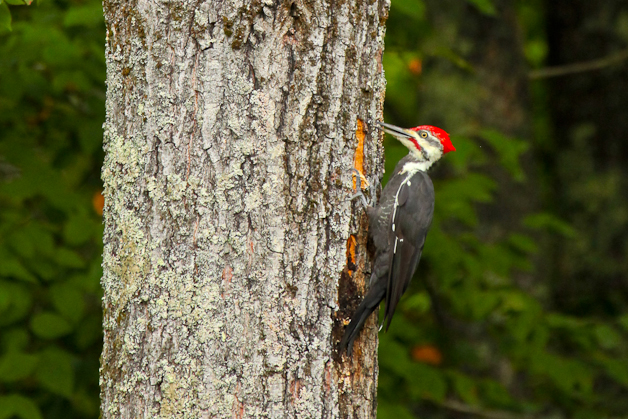 barringtonpileated-IMG_7387