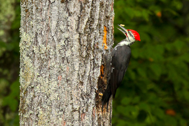 barringtonpileated-IMG_7390