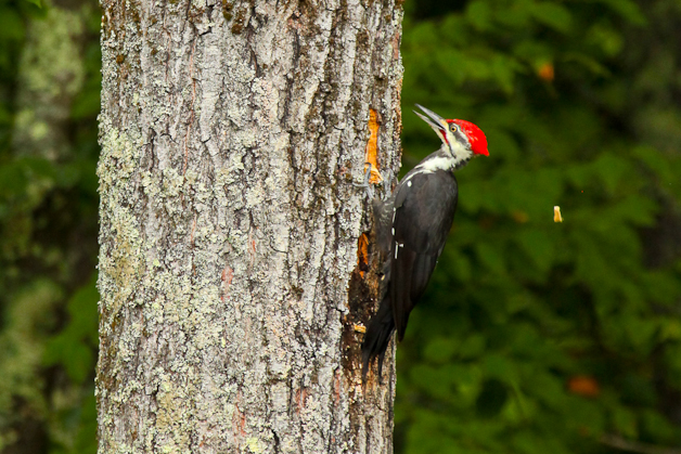 barringtonpileated-IMG_7391