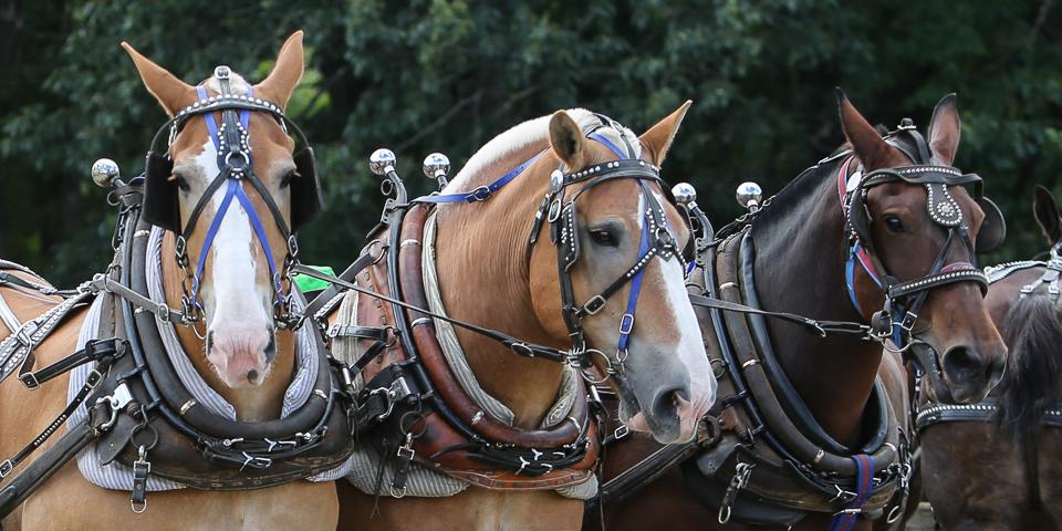 rochesterfair2016-triplehorsepull-6y9a2181