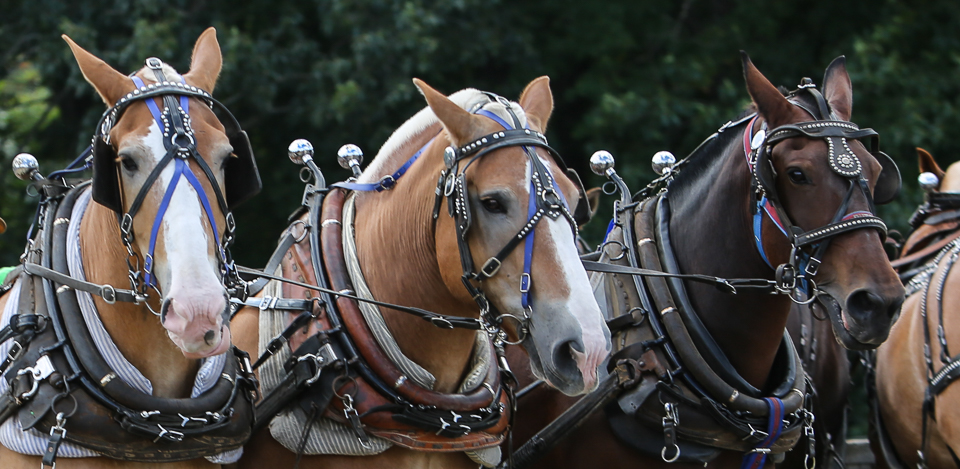 rochesterfair2016-triplehorsepull-6y9a2185