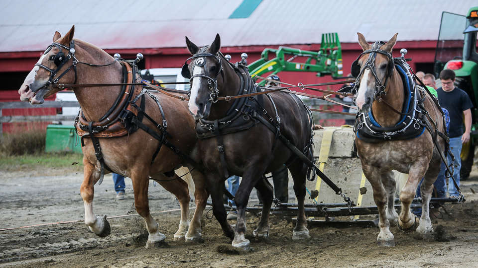 rochesterfair2016-triplehorsepull-6y9a2266