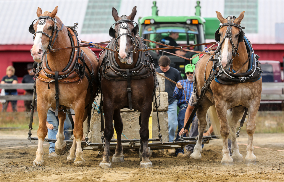 rochesterfair2016-triplehorsepull-6y9a2551