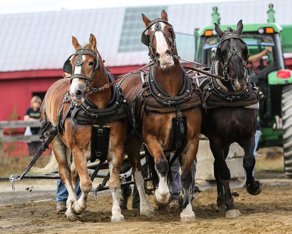 rochesterfair2016-triplehorsepull-6y9a2625