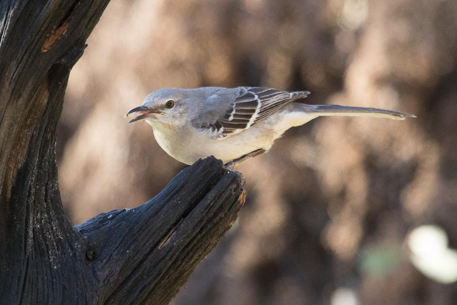 Martin Auto Museum >> Texas State Bird ~ The Mockingbird   Into the Mystic ...