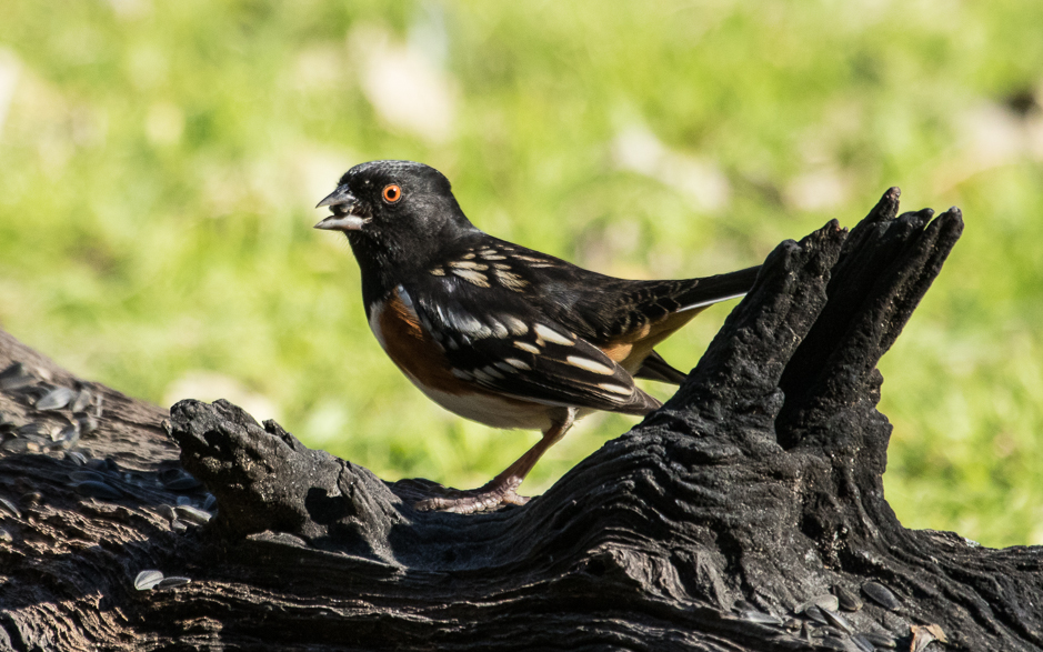 Towhee into the mystic travels photography for Az game and fish draw results 2017