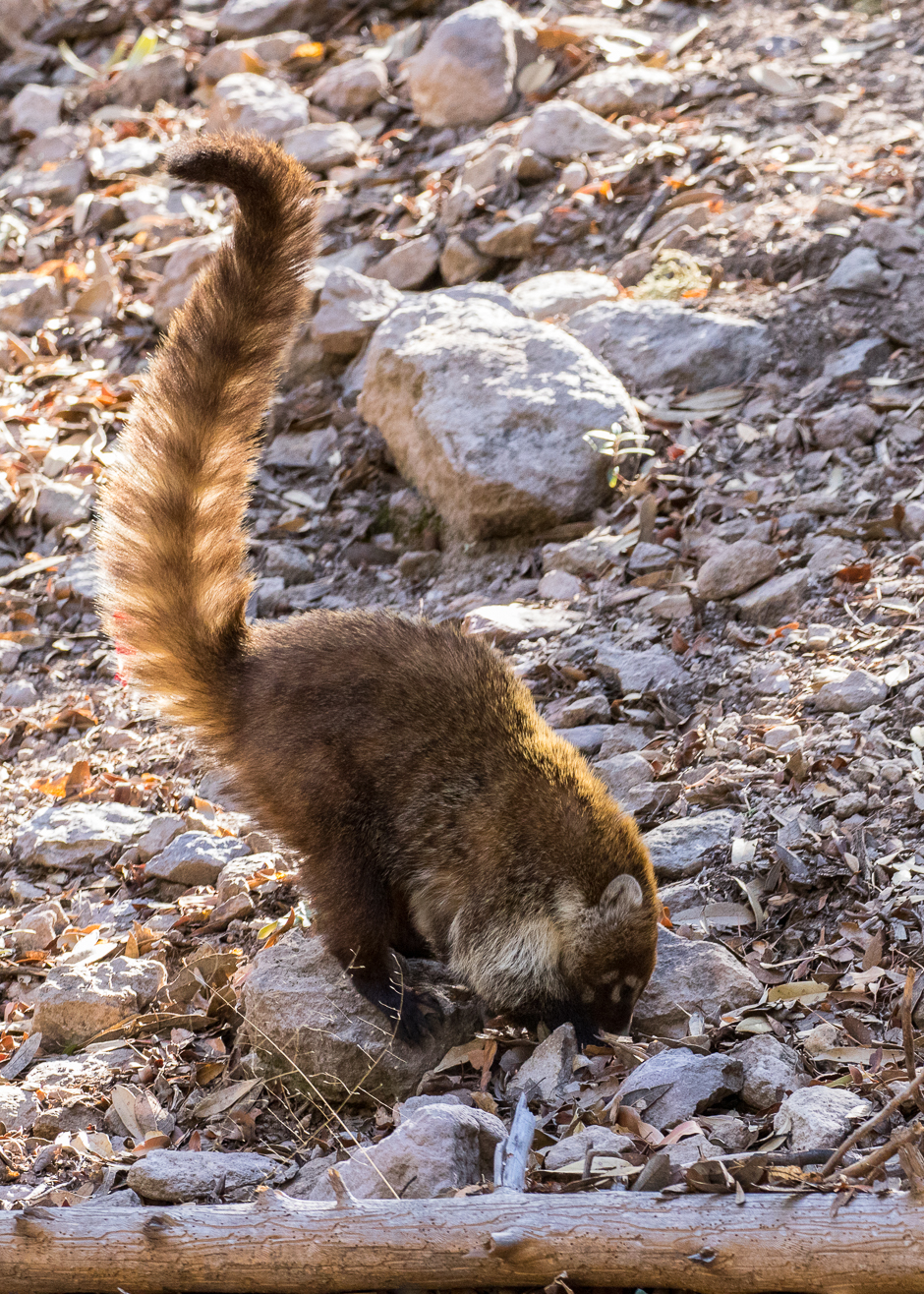 Coati in camp chiricahua nm cochise county arizona for Az game and fish draw results 2017